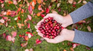 Hands holding red cranberries over leaves on the ground