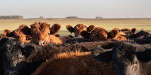 Herd of steers