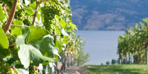 Bunches of Grapes with a Lake