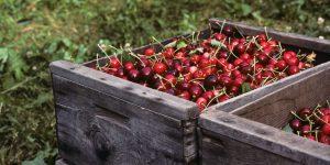 Bing Cherries in Wooden Boxes