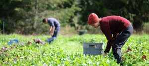Young woman in a toque and sweater with a bucket harvesting salad greens in a field