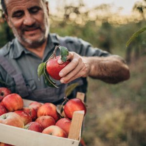 Man holding a box of apples in field
