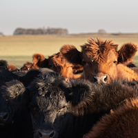 Close up image of black and brown herd of cattle