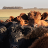 Black and brown herd of cattle