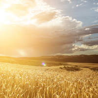 Sunset above a field of wheat