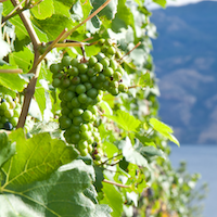 Close up image of green grapes on a vine with a lake in the background