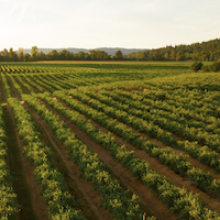 Landscape image of rows of crops in a field