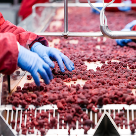 Hands covered in blue gloves sorting red raspberries on a sorting machine