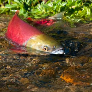Red and gold salmon in a low water table stream