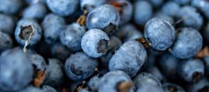 Macro shot of bright blue blueberries